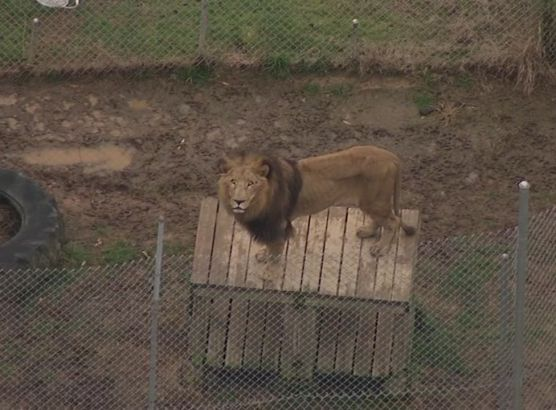 Zoo intern fatally attacked by lion image