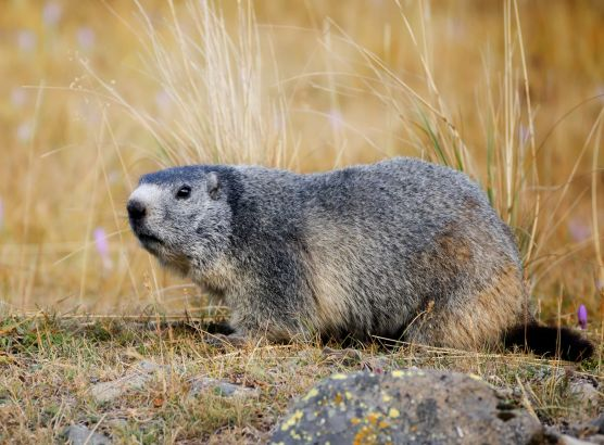 Mongolian couple die from the bubonic plague after eating a marmot image