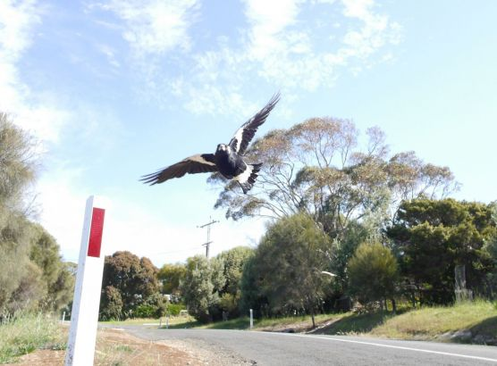Australian cyclist dies after swerving to avoid swooping magpie image